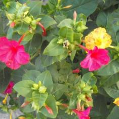 Seminte de minunea peruului (Mirabilis jalapa) (50 seminte)