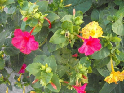 Seminte de minunea peruului (Mirabilis jalapa) (50 seminte) foto
