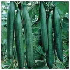 Seminte castraveti