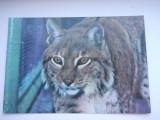 Romania-Risul- Lynx lynx -animal ocrotit