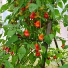 Semint ardei iute chili