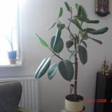 Ficus elastica inalt de 110cm