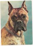 Carte postala(ilustrata)-CAINI-Boxer