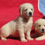 Pui golden retriever de exceptie, cu pedigree - Caine