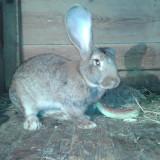 Vand iepuri Uriasul Belgian, De carne, Par scurt, Mari, Iepurele Domestic