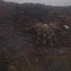 Tarantula Poecilotheria tigrinawesseli - Reptile