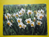 Romania- Flori Narcise