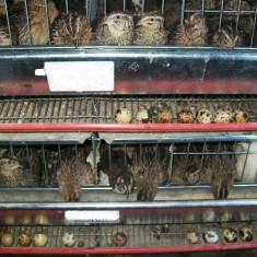 Oua de prepelita, proaspete, folosite in cure pentru tratarea diverselor boli, direct de la producator