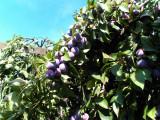 Tuica de prune, minim 33 grade tarie alcoolica