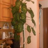 Dieffenbachia, planta decorativa de interior