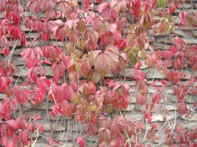 Seminte de Planta agatatoare Parthenocissus vitacea (20 s.)cultivat si ca Bonsai foto