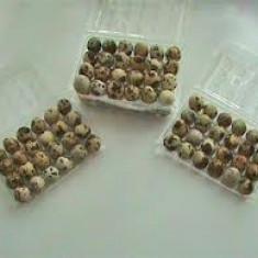 Vand oua de prepelita