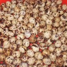 Vand oua prepelita en gros