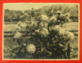 Fotografie Veche de Colectie pe Hartie Fotografica Agfa, Flori model 2, Marime 22,5 - 17 cm - anii 1930