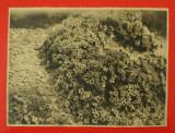 Fotografie Veche de Colectie pe Hartie Fotografica Agfa, Flori model 1, Marime 22,5 - 17 cm - anii 1930