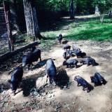Purcelusi vietnamezi - Porci