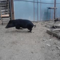 Porci vietnamezi