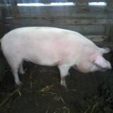 vand porc crescut la tara