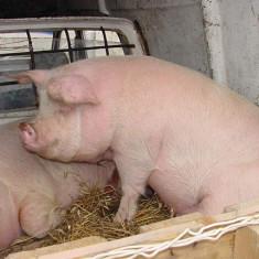 Porc de vanzare in jur de 200 kg - Porci