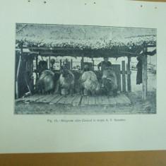 Mulgerea oilor  Caracul  la mosia A. V.  Synadino  Cricova Republica Moldova 1926