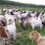 Vand 50 de capre lapte - Oi/capre