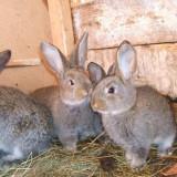 Pui iepuri de casa