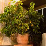 Pom exotic lamai 30 ani - Arbusti fructiferi