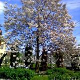 Seminte arbore Paulownia(arborele printesei) - 400 buc - 10 lei