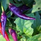 """Seminte ardei iuti chili """"Purple Cayenne"""" - Seminte ardei iute"""