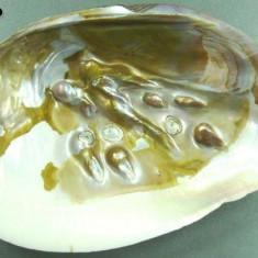 Scoica perlifera - Fosila roca
