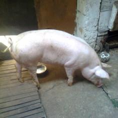 Vand porc de carne - Porci
