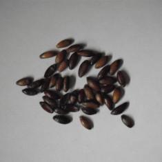 Dracila (Berberis vulgaris) (10 seminte)