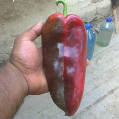 Seminte de legume - Seminte rosii