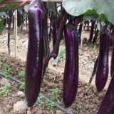 "Seminte vinete "" Long Purple "" - soi italian"