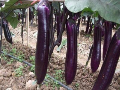 "Seminte vinete "" Long Purple "" - soi italian foto"