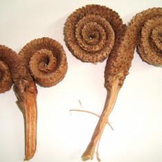 Plante naturale uscate - coarne de berbec 7-9  buc/punga pt aranjamente