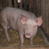 Porci pentru Craciun