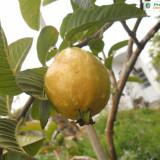 GUAVA GALBENĂ (psidium guajava) - ARBUST FRUCTIFER EXOTIC - plic cu 20 seminte