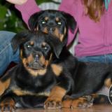 Rottweiler de vanzare - Caine, Gen: Mascul, Femela