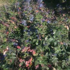 Seminte de Mahonia aquifolium (20 seminte) este cultivat si ca Bonsai