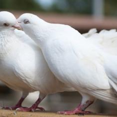 Vând porumbei rasă CURCANI