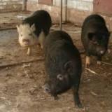 vand porci vietnamezi