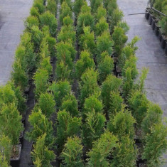 Tuia ( Thuja occidentalis)