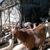 Vindem capre de un an (n.2014) - Oi/capre