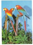 % carte postala (ilustrata)-PAPAGAL ARA-Fauna, Necirculata, Printata