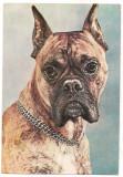 % carte postala (ilustrata)-CAINI-Boxer, Necirculata, Printata