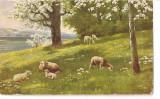 CPI (B5209) CARTE POSTALA - PEISAJ, POMI, OI,  PASUNE, Necirculata, Printata
