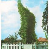 % carte postala-HARGHITA-Cristuru Secuiesc-Pomul lui Petofi Sandor, Circulata, Printata