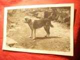 Fotografie-Ilustrata - Caine Saint-Bernard , alb-negru , interbelica, Necirculata