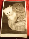 Fotografie- Pisici in cosulet - alb-negru